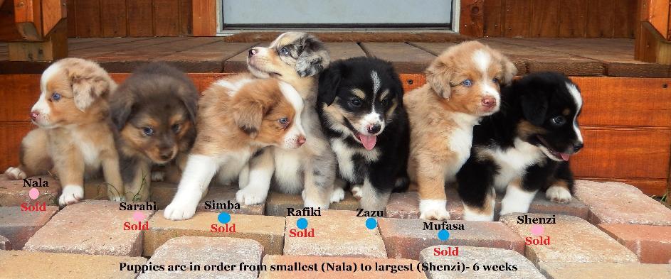 Miniature Australian Shepherd Puppies at Bond